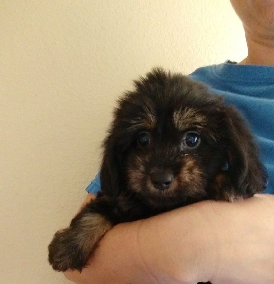 Adopt Tasso On Small Mixed Breed Dogs Dachshund Dachshund Mix
