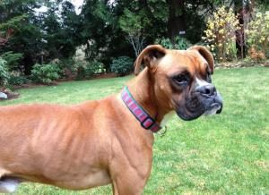 Adopt Mason on Boxer rescue, Losing a dog, Foster mom
