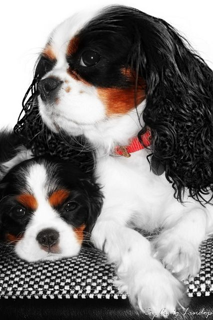 So Cute Together King Charles Dog Cavalier King Charles Spaniel Cavalier Puppy