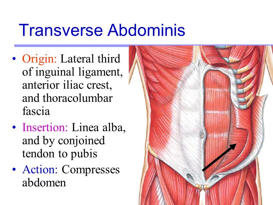 The Transverse Abdominis muscle is a part of your internal abdominal ...
