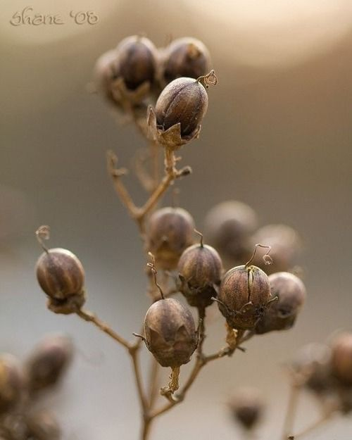 Seed Pods ~ Winter