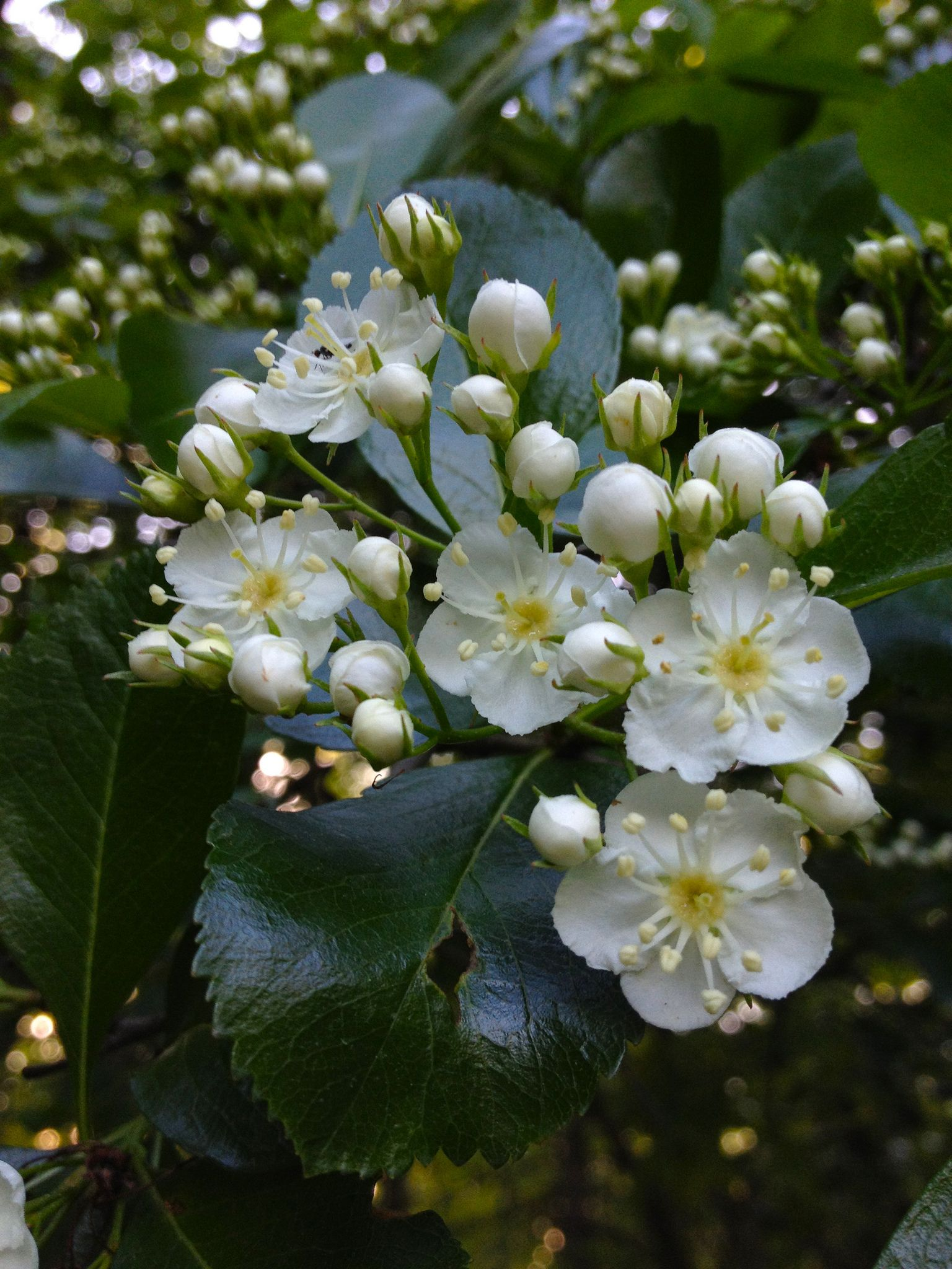 Fiche plante Aubépine