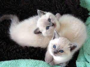 How To Care For Scottish Fold Kittens Balinese Cat Cute Animals