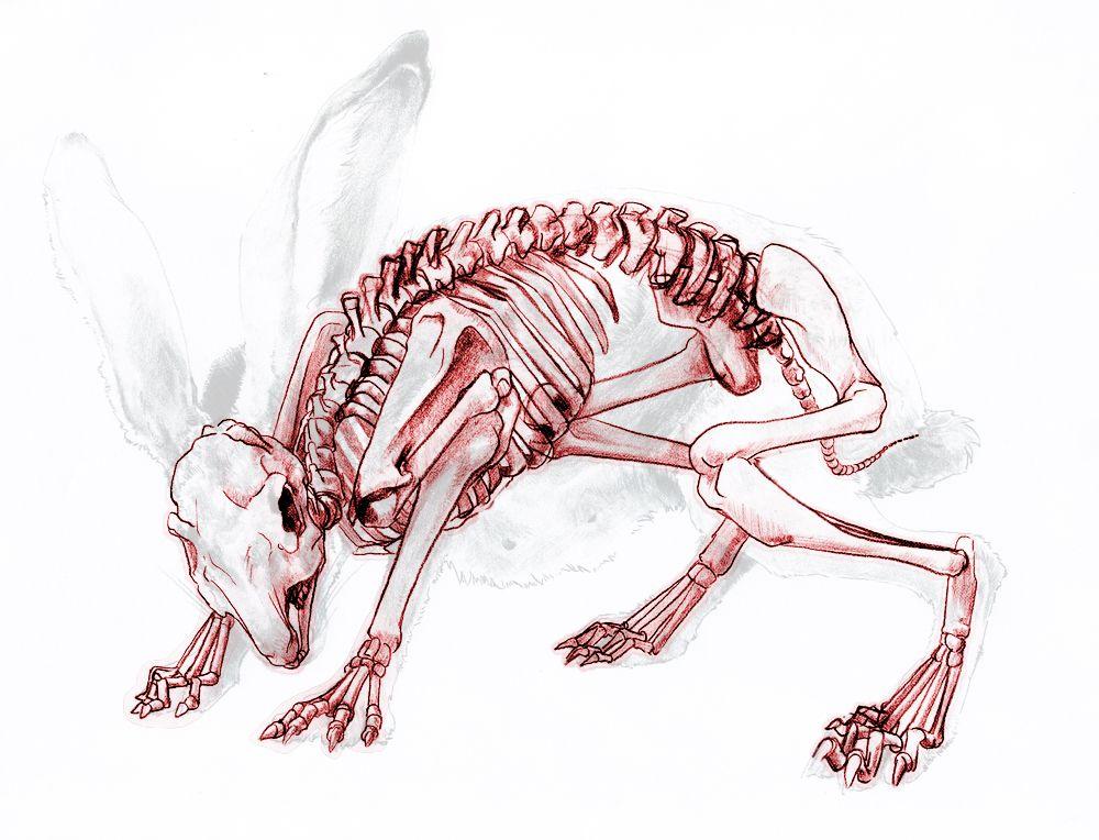 Rabbit Anatomy Skeleton Danasrfep Anatomy Rabbit Anatomy