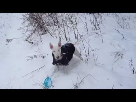 English bull terrier Nitro's first snow