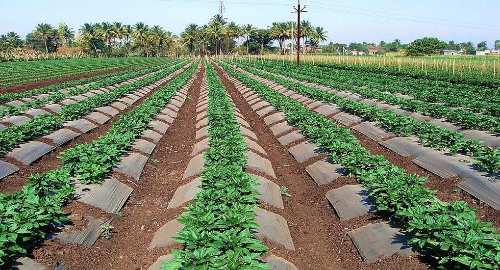 Nelatalli Capsicum Cultivation Rural india, Rural