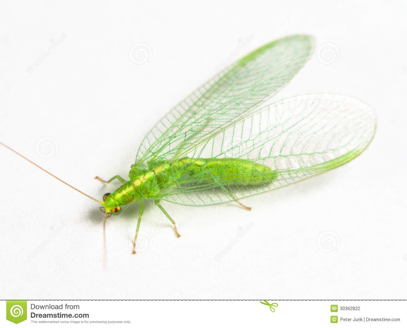 chrysopidae-green-lacewing-extreme-close-up-30362822.jpg ...