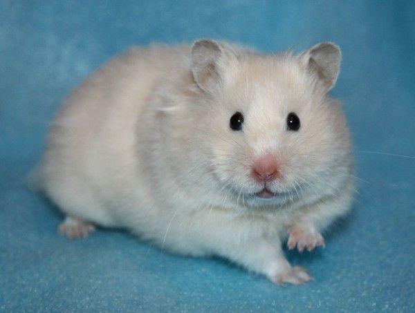 Hamster Ru Informaciya Syrian Hamster Cute Animals Hamster