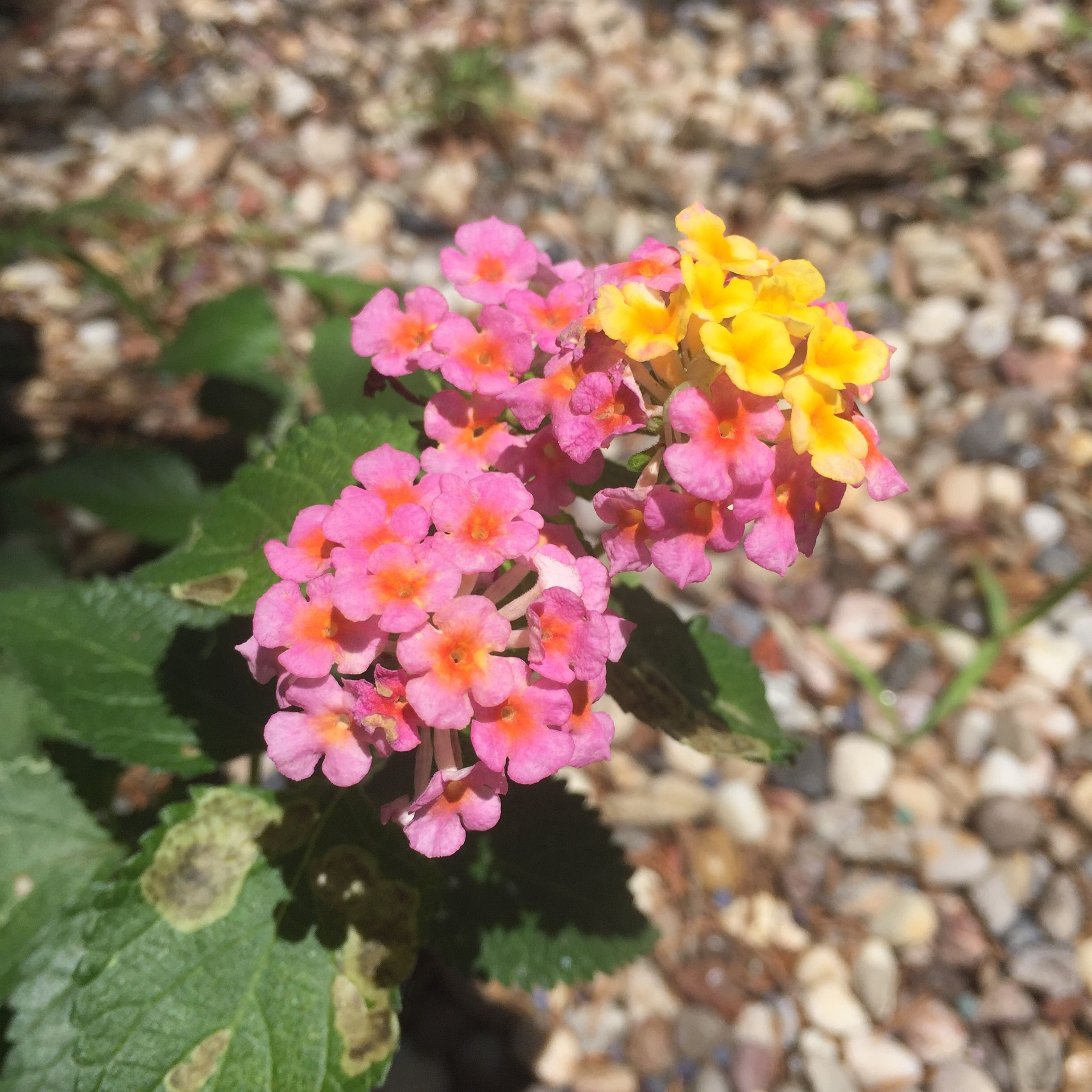 Loving The Lantana Volunteers Thanks To The Critters For Planting Them Flowers Nature Plants Lantana Texas With Images Lantana Plants Nature