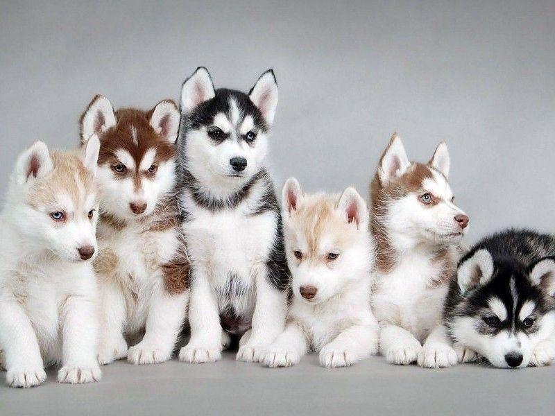 informacion   Cute husky puppies, Cute baby animals, Cute husky