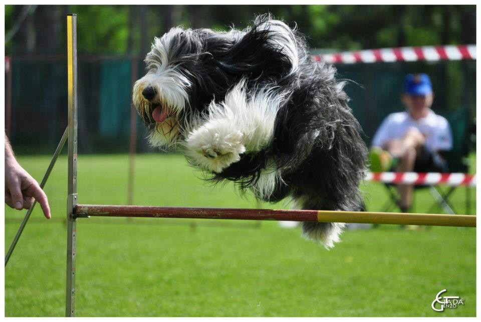 Bearded In Agility Bearded Collie Dog Id Irish Wolfhound