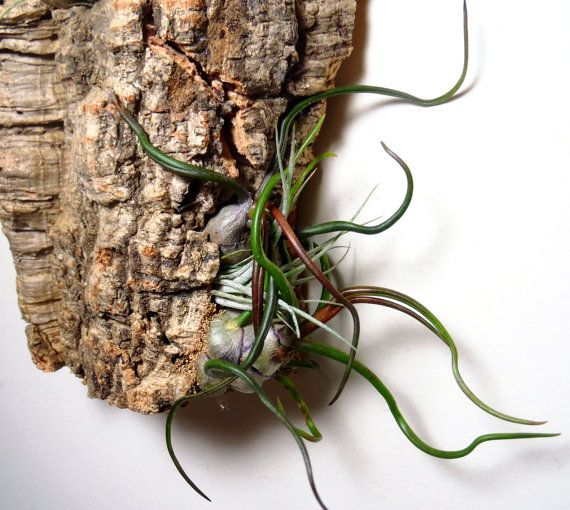 Living Wall Art Air Plants On Sustainable Virgin By Plantzilla