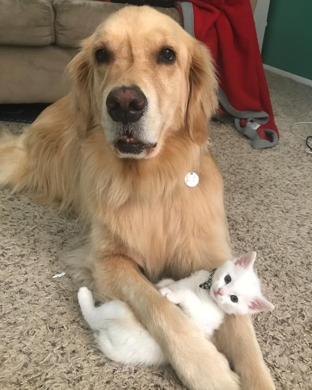 Plushie Loving Therapy Dog Gets A Real Live Kitten To Cuddle Iheartdogs Com Teddy Dog Giant Dogs Animals Friendship