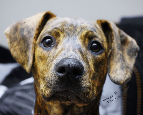 Whiskey - Plott Hound #plotthound