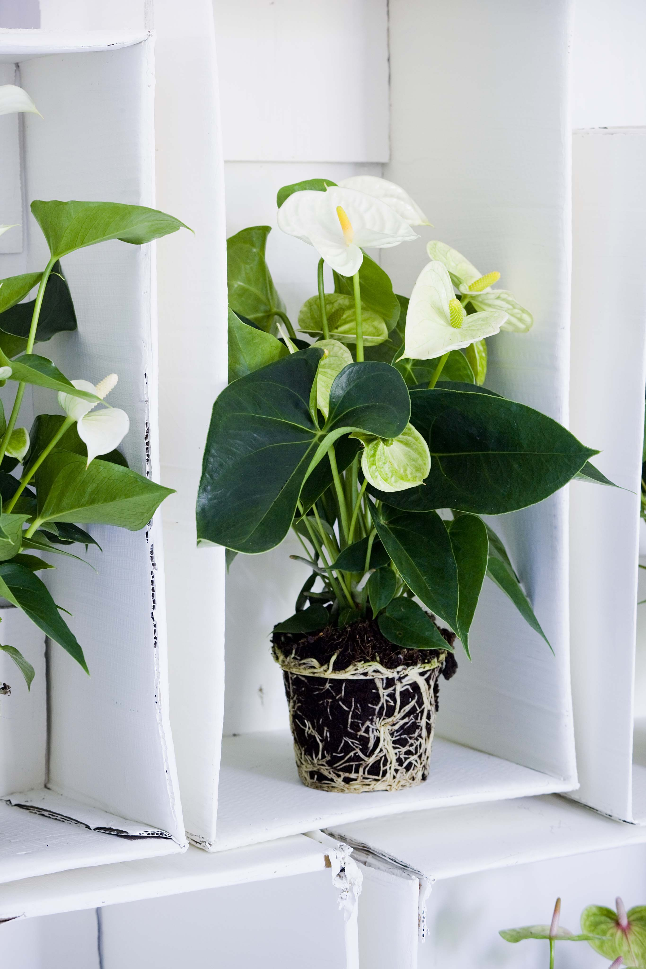 White Anthurium In Living Room Indoor Plants Pinterest Plants