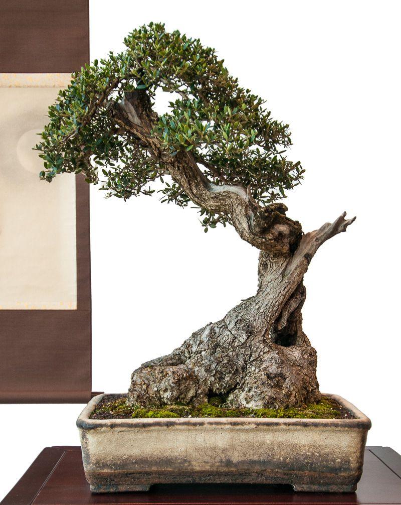 Alter olivenbaum olea europea als bonsai bonsai - Jardin de bonsais ...