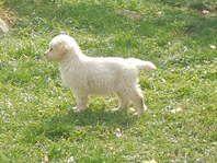 Akc Golden Retriever Champion Line Dogs Pets And Livestock