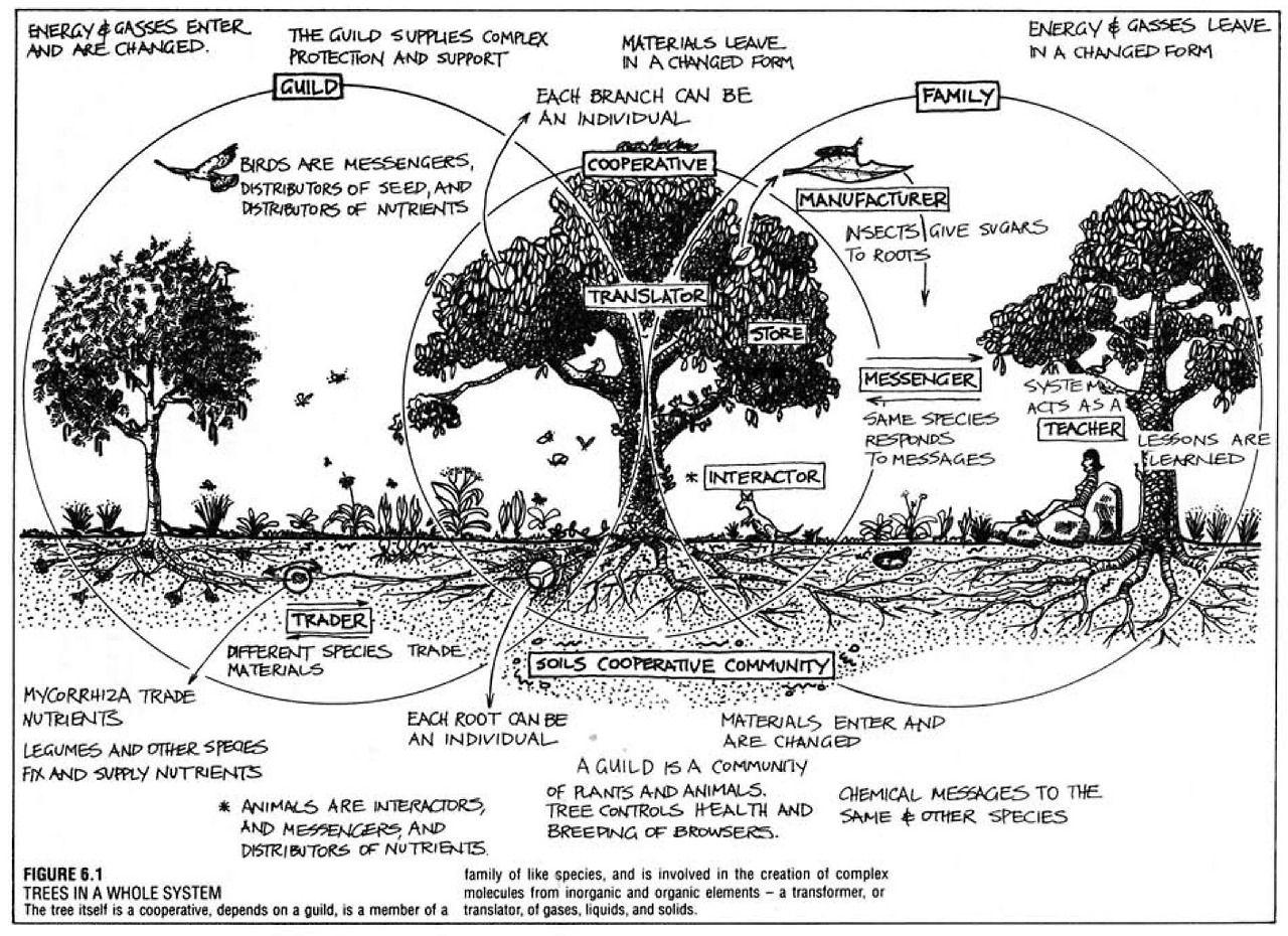 Fruit Tree Guild diagram bill mollison. The following link