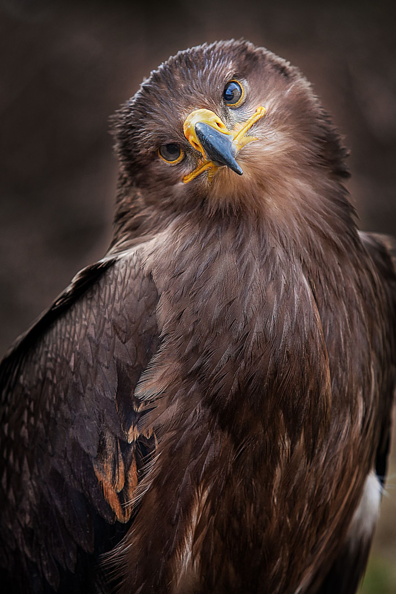 """Pieps"" Steppenadler Birds of prey, Beautiful birds, Birds"