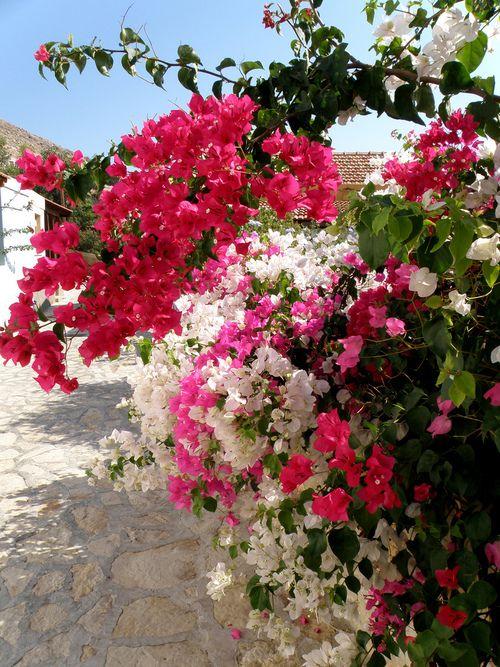 These flowers are so beautiful - taken on halki island