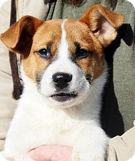 Corgi Jack Rus Mix Puppy