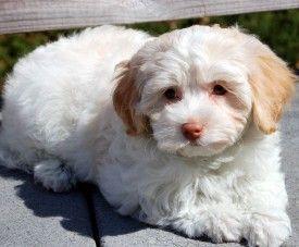 Royal Flush Havanese Puppies For Sale Havanese Puppies Havanese Puppies For Sale Puppies