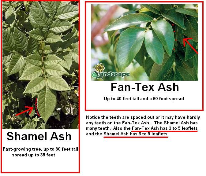 Ash Trees Good Discussion On The Difference Between Fan