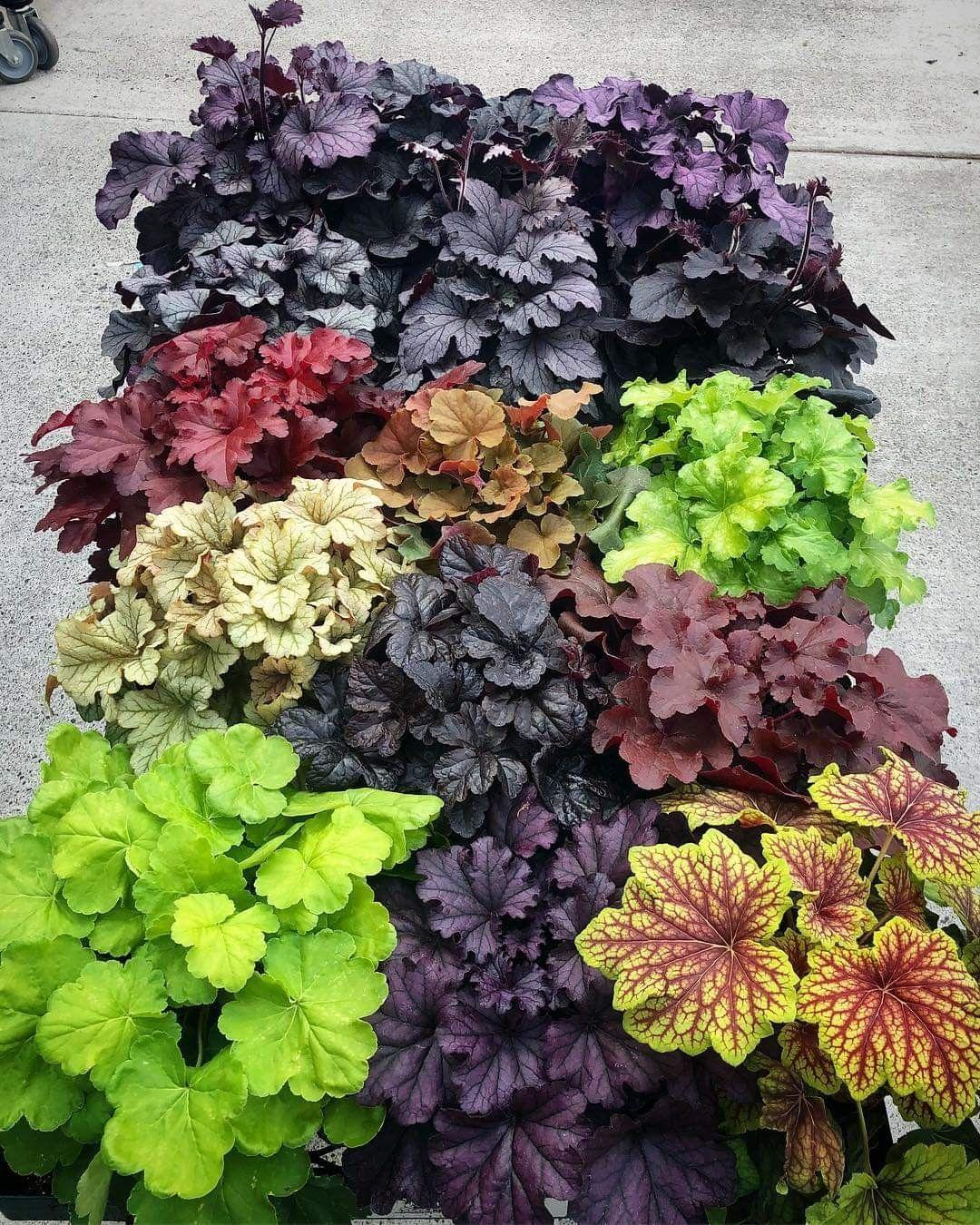 Heuchera Varieties With Images Small Garden Landscape