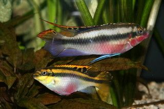 Aquariumvissen Kersenbuik Cichlide Verzorging Voeding En Kweek Aquariumvissen Cichliden Tropische Vissen