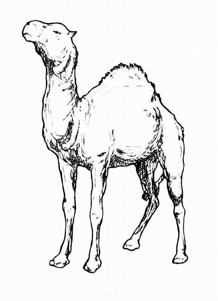 Раскраска Верблюд в пустыне — картинка-разукрашка на тему ...