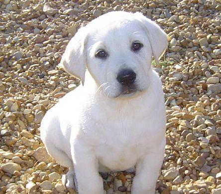 White Labrador Labrador Retriever White Labrador Retriever Puppy