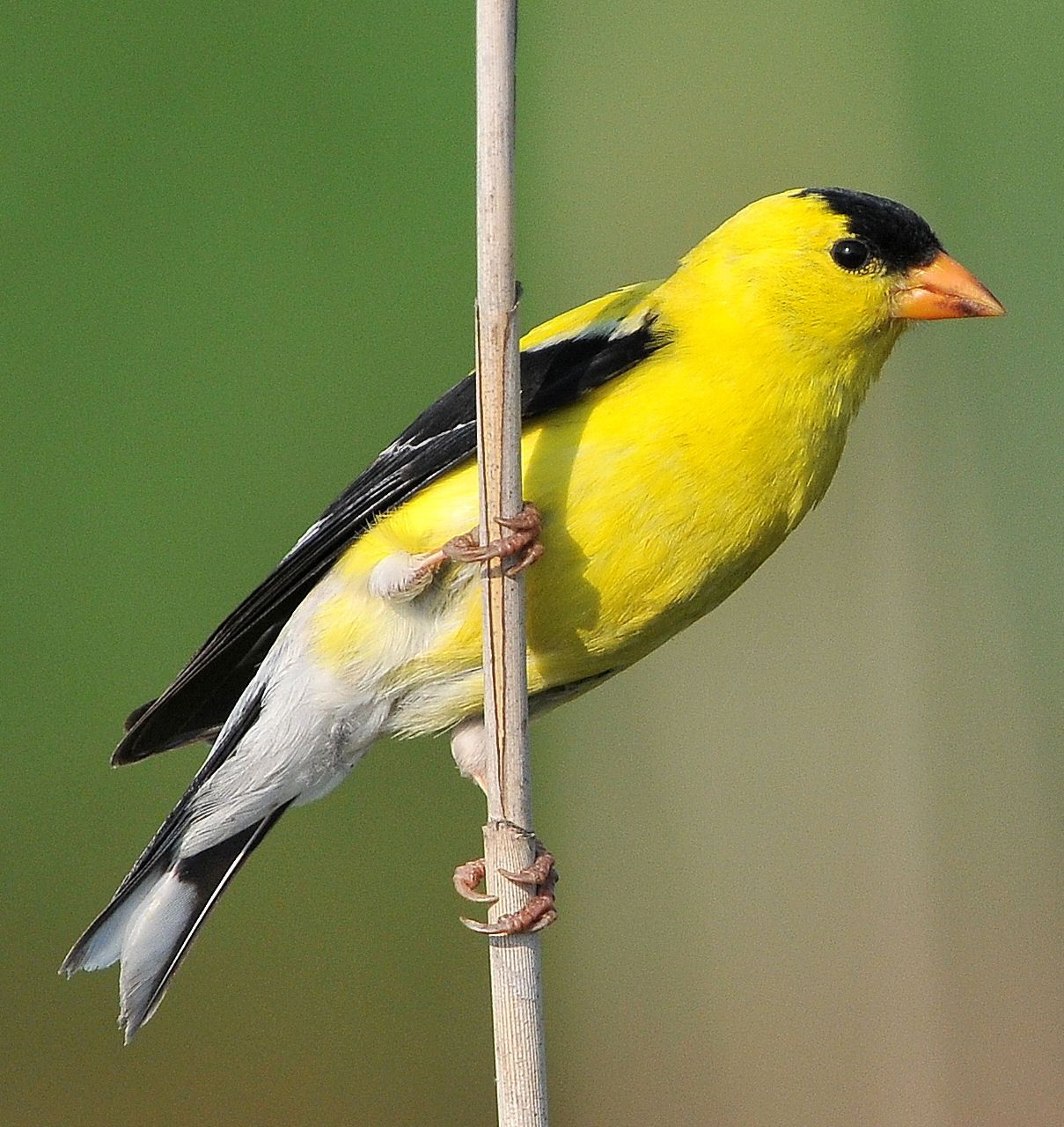 new jersey eastern goldfinch saw one of these today angels