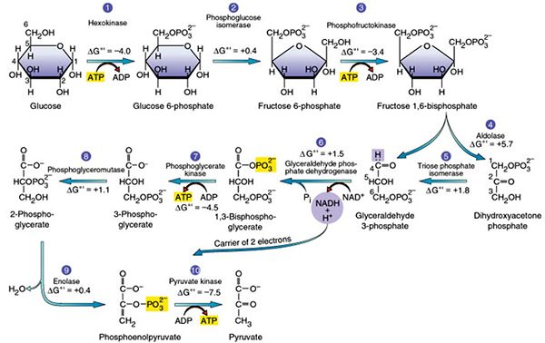 Glycolysis 10 Steps Explained Steps By Steps With Diagram Biochemistry Biological Chemistry Glycolysis Pathways