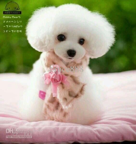 Very smoochable #PoodlePup