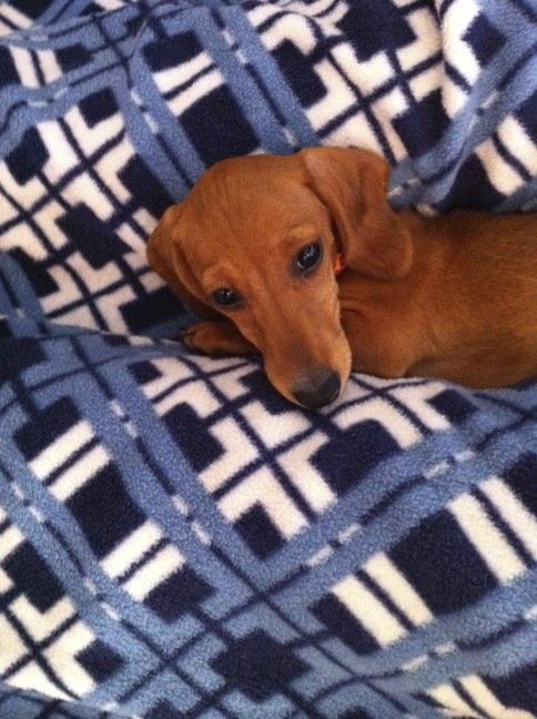 My favorite Dachshund of all - my sweet baby Lilly!