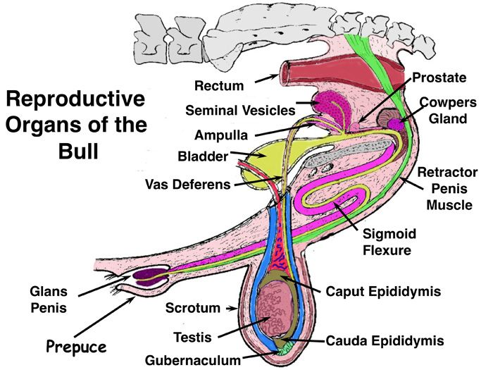 detailed diagram of the reproductive tract of horse - Google Search ...