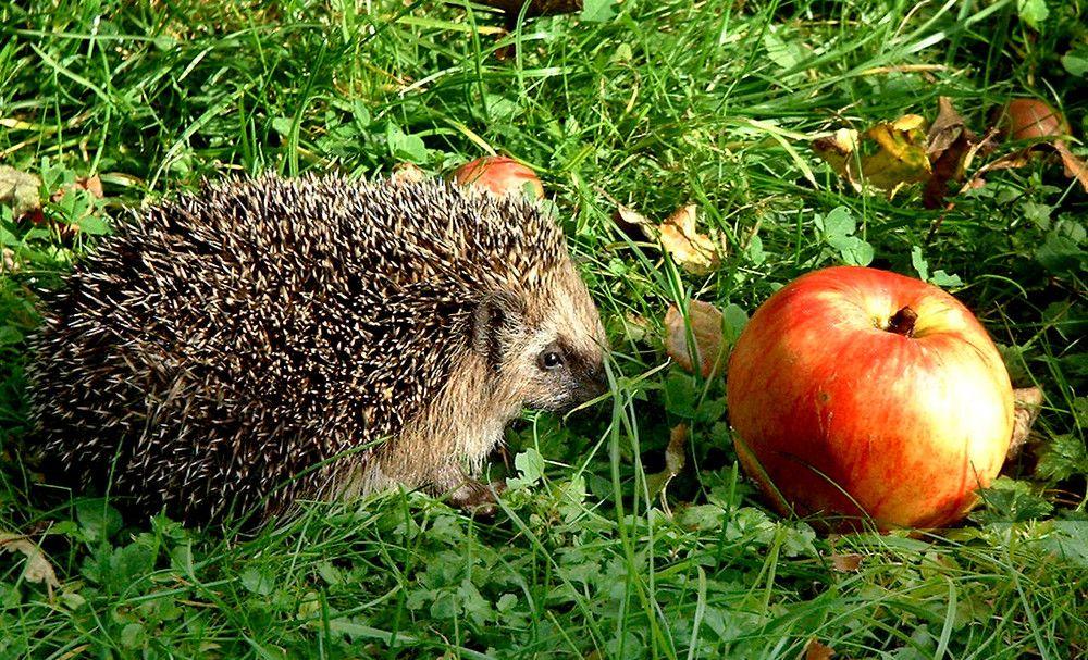 Kleiner Igel Und Grosser Apfel Igel Natur Tiere Tiere