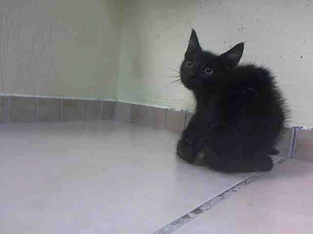 """KACTUS - A1045216 - - Brooklyn  ***TO BE DESTROYED 08/06/15*** ADORABLE EBONY BOY KITTEN QUADRUPLETS, DUMPED AS """"STRAYS"""", HAVE GREAT BEHAVIOR RATINGS, BUT WILL DIE BECAUSE THEY SNEEZED – PLEASE GRANT KACEE, KACI, KACTUS, AND KADER A DEATH ROW PARDON!!! Adorable little ebony kitten cuties KACEE, KACI, KACTUS, and KADER, just 10 weeks old, find themselves flung into the ACC's Death Camp for Kitties as STRAY waifs. These little loves all earned very goo"""
