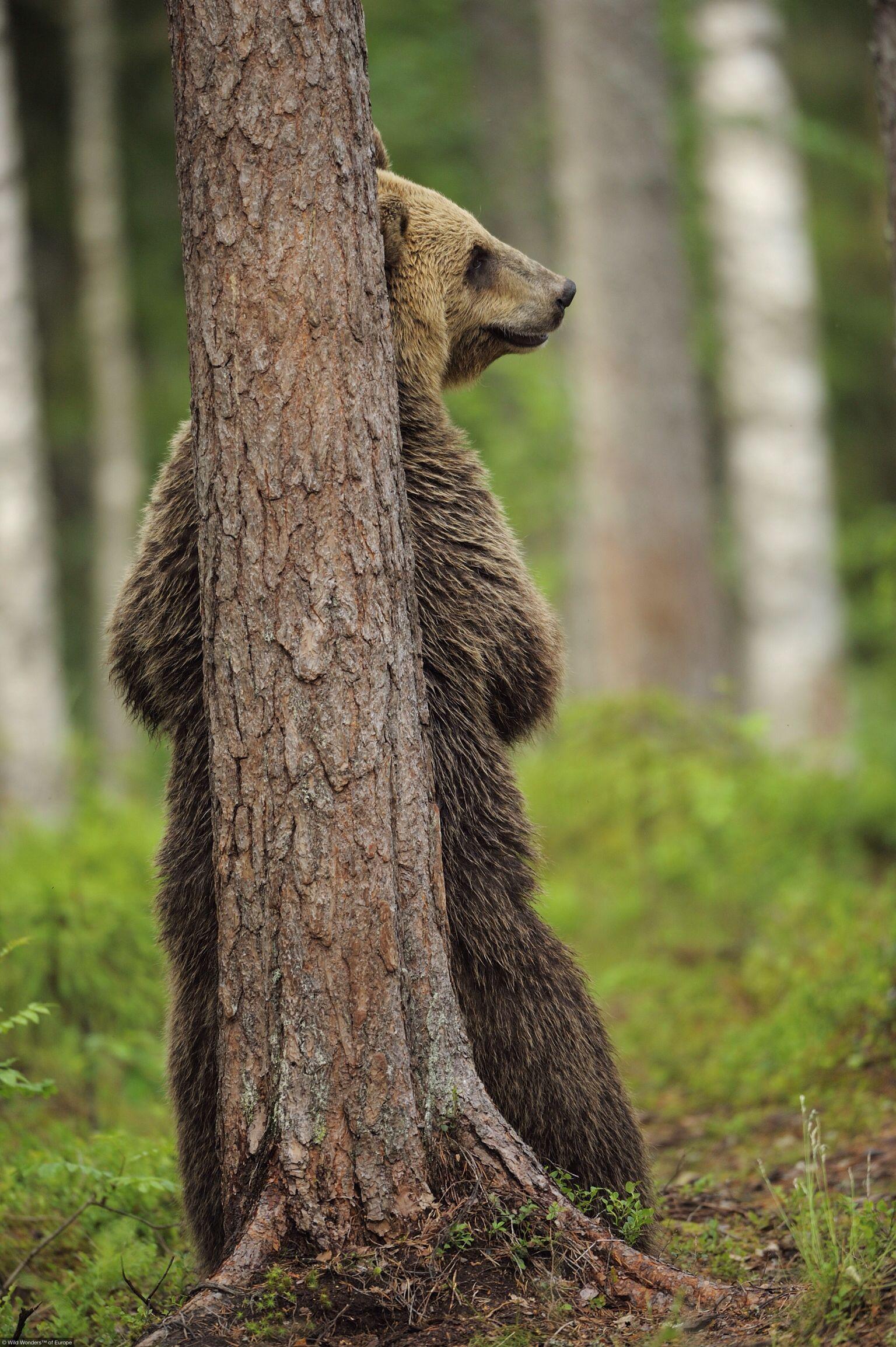 Brown Bear Hiding Behind A Tree