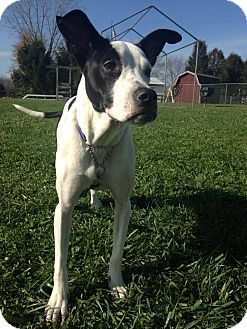 Dayton Oh Labrador Retriever Great Dane Mix Meet Moo A Dog For Adoption Dog Adoption Labrador Retriever Mix Pets