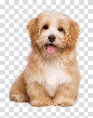 Havanese Dog Pet Sitting Labrador Retriever Puppy Cat Pet Dog Transparent Background Png Clipart Cute Dogs Images Havanese Dogs Cute Cats And Dogs