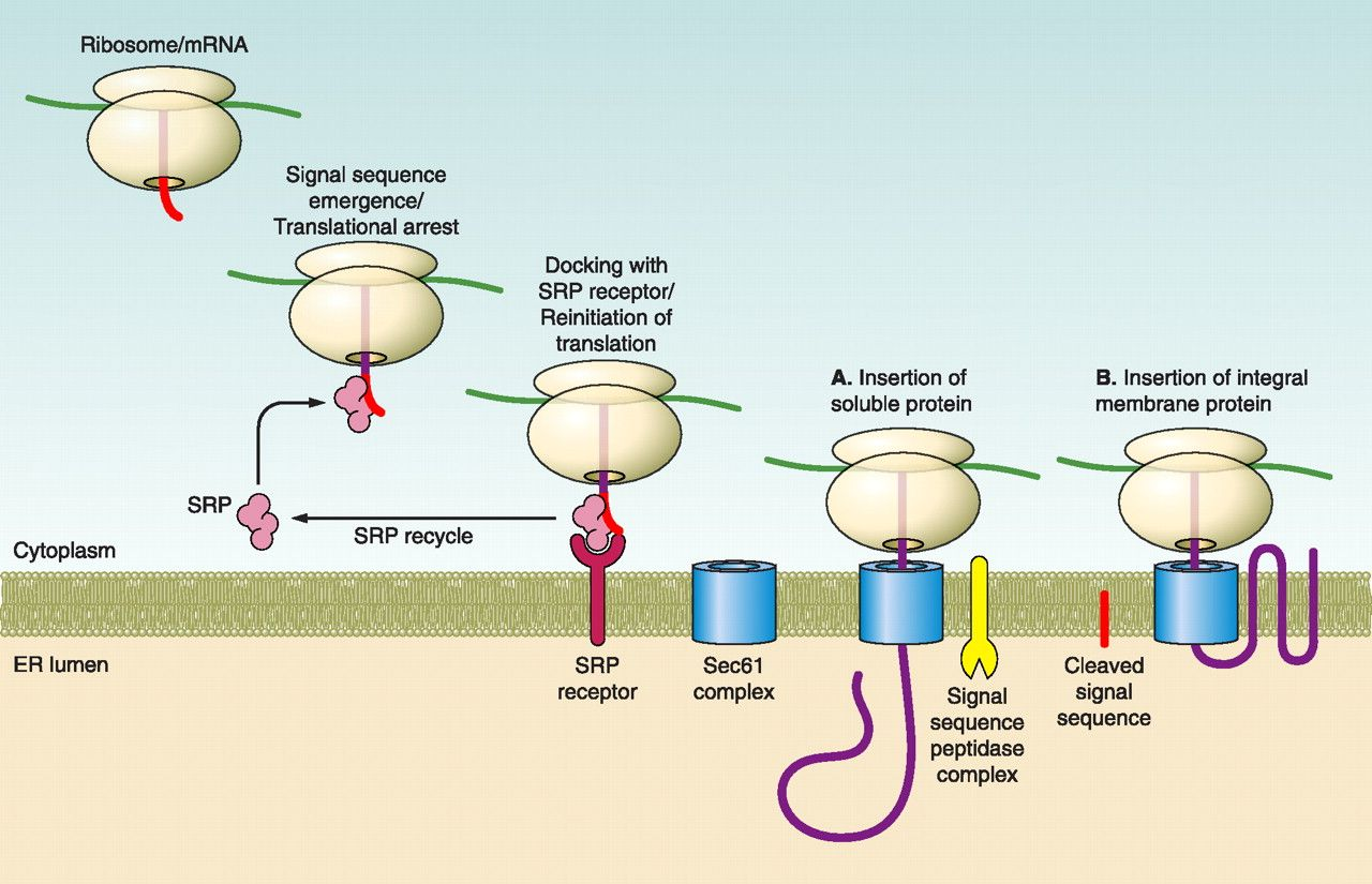 Protein Targeting To The Endoplasmic Reticulum