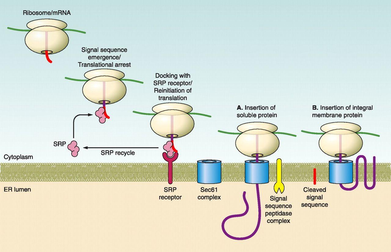 Protein Targeting To The Endoplasmic Reticulum
