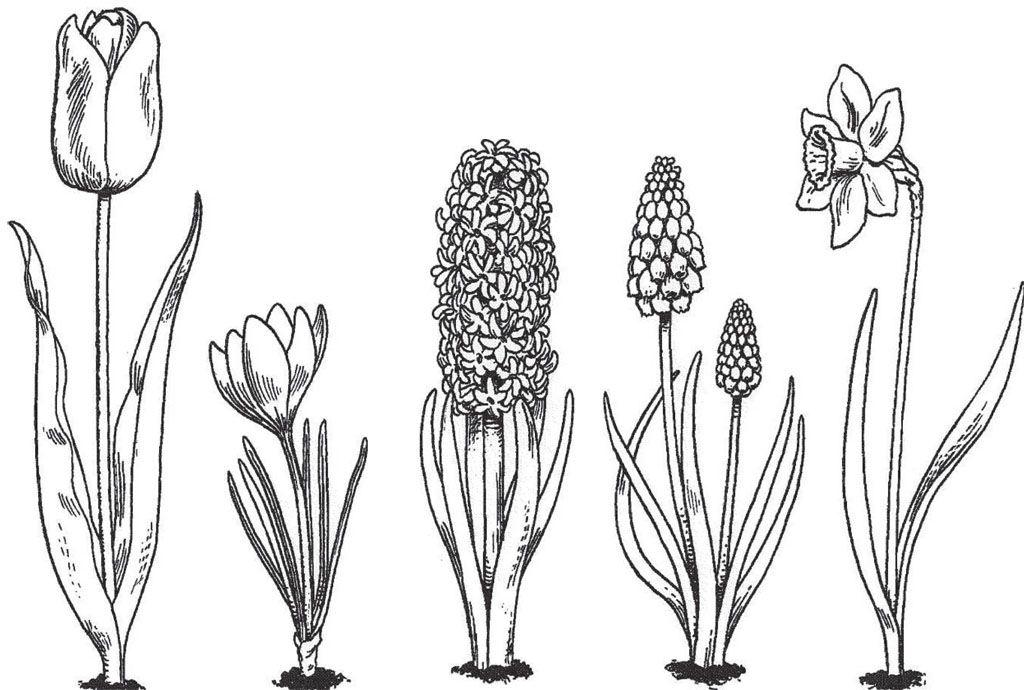 kleurplaat tulp en narcis kleurplaat bloem vind leuk
