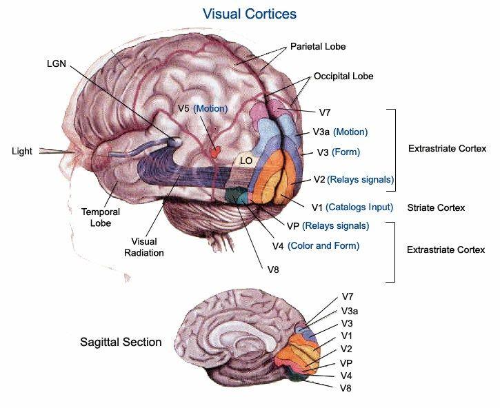 Human Visual System | Neuroscience/Color/Qualia | Pinterest | Visual ...