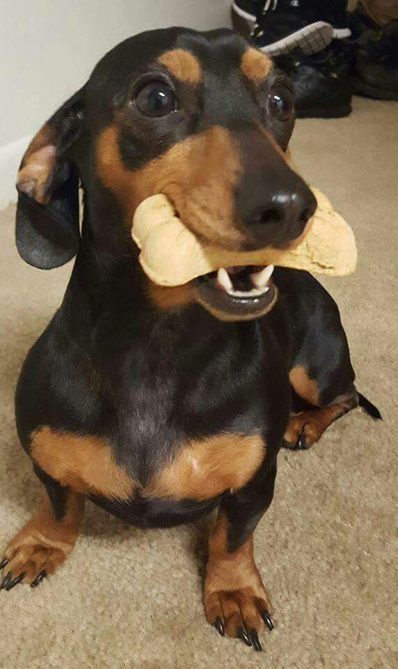 Pin By Agnes On Teckel Dachshund Puppies Weenie Dogs
