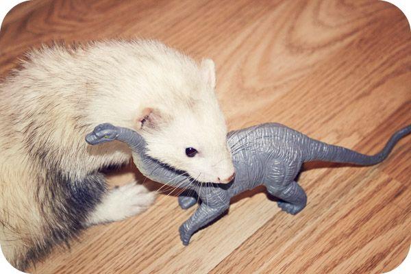 My Ferret + Dinosaurs = Uber Cuteness Ferret, Cute