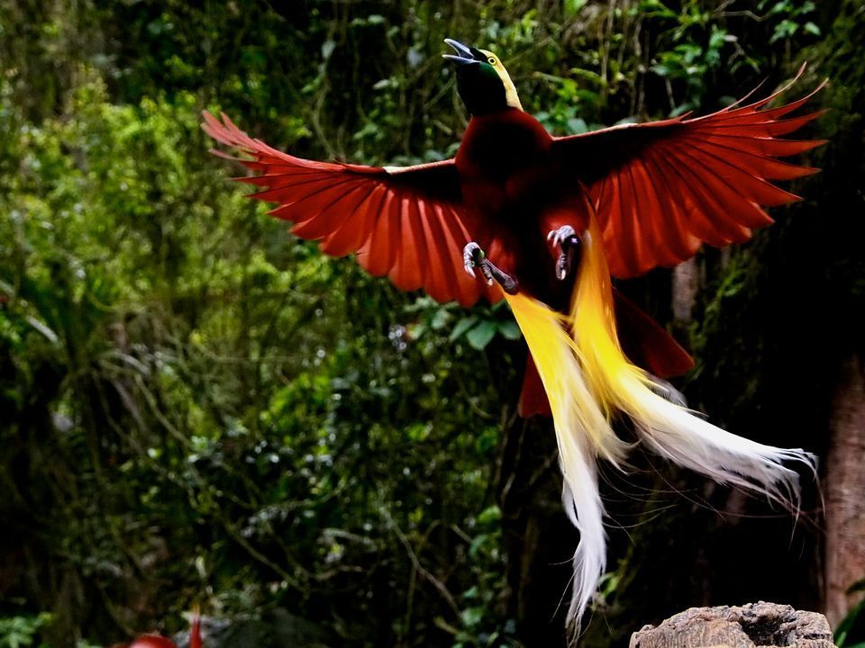 Birds of Paradise | BIRDS | Birds, Paradise pictures