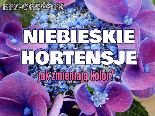 Niebieska Hortensja Ogrodowa Jak Zmienic Kolor Kwiatow Hortensja Ogrodowa Hortensja Rosliny