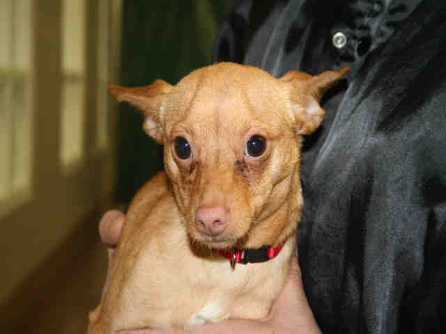 Illinois Hermit Id A047050 Is A Neutered 8mos Chi Mix Puppy In